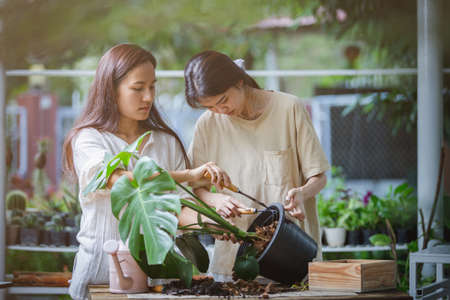 Two Asian women are helping to replace a new pot for the monstera plant or split-leaf philodendron (Monstera deliciosa) Cultivation and caring for indoor potted plants.