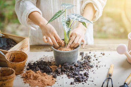 Woman hands transplanting plant into new pot Indoor in the garden, Hobbies and leisure, home gardening, Cultivation and caring for indoor potted plants. Replanting the plant into the pot. Stok Fotoğraf