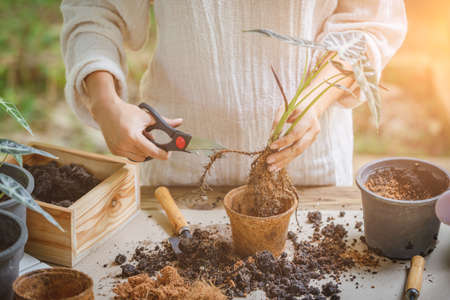 Woman is planting trimming the roots to grow in new pot. Hobbies and leisure, home gardening, Cultivation and caring for indoor potted plants. Replanting the plant into the pot. Stok Fotoğraf