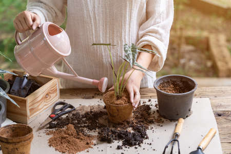 Woman transplanting plant a into a new pot and watering plant in the garden, Hobbies and leisure, home gardening, Cultivation and caring for indoor potted plants. Replanting the plant into the pot.