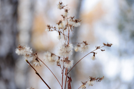 pappus: Dry plant with fluffy pappus in autumn forest Stock Photo