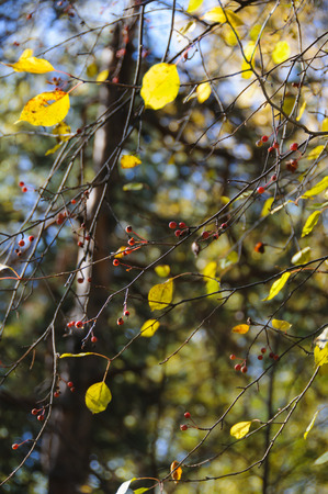 albero da frutto: Wild apple-tree with yellow leaves in autumn forest