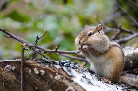 ardilla: Chipmunk en el registro en un bosque come semillas de girasol