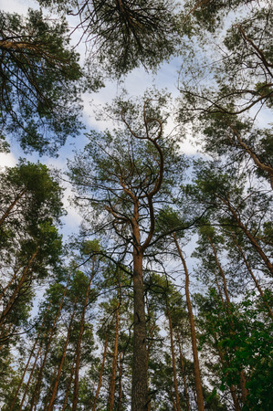 high view: Cloudy summer sky through the trees in the forest Stock Photo