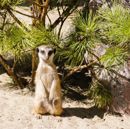 Meerkat standing on guard on sand in zoo