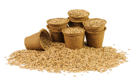 peat pot: Several peat pots filled with oats seeds on white background