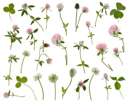 Many leaves, flowers and stems of clover at various angles isolated on white background
