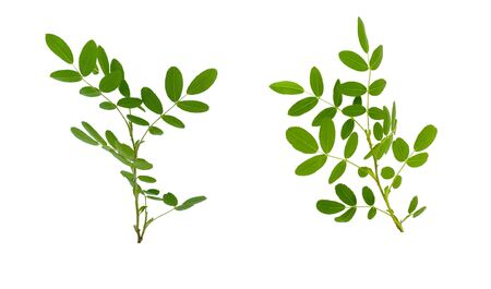 Few twigs with leaves of dog rose isolated on white background Banque d'images
