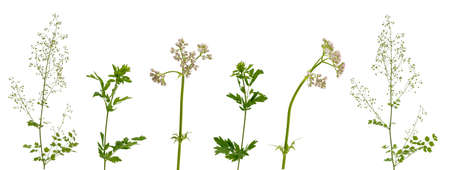 Few stems of various meadow and forest grass, flowers and inflorescences isolated on white background Stok Fotoğraf