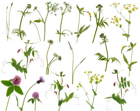 Many different stems of meadow grass with various yellow, white and purple flowers isolated on white background