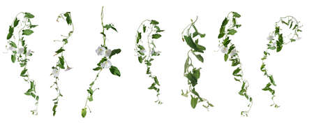 Few stems of bindweed with white flowers and green leaves at various angles isolated on white background
