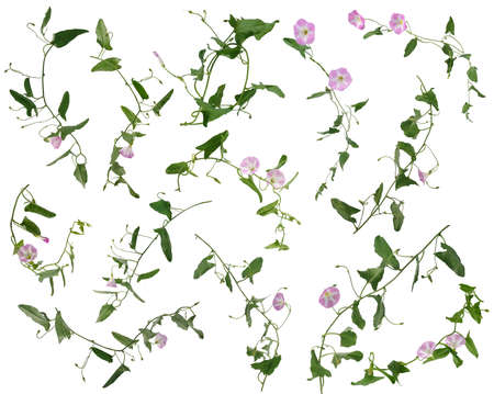 Many stems of bindweed with pink flowers and leaves at various angles isolated on white background