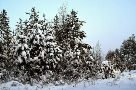 conifer: Winter forest  Landscape