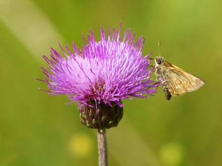 curative: The butterfly on a thistle