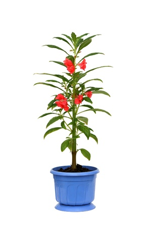 impatiens: Impatiens balsamina. Window plant in a pot
