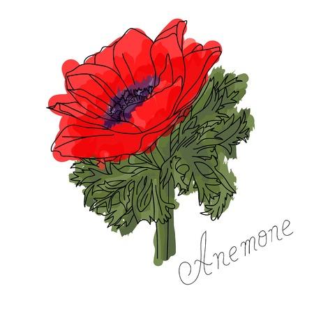 Red anemone flower vector illustration Illustration