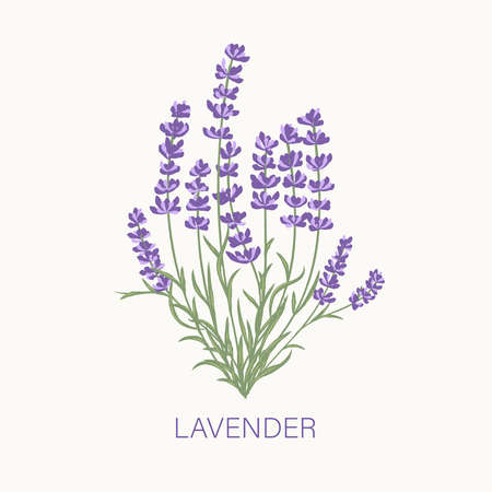 Fresh cut fragrant lavender plant flowers bunch, realistic icon isolated vector illustration. Vector Illustratie