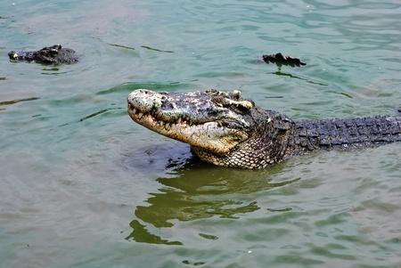 samutprakarn: crocodiles, Samutprakarn, Thailand