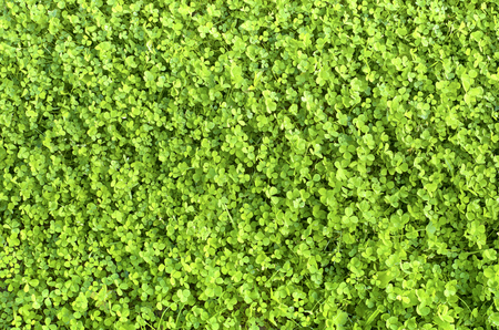 green carpet: the young green carpet of clover during the day in Sunny weather