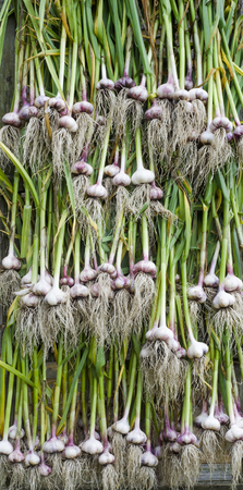 quantities: the stem and root of garlic in large quantities are dried in the fresh air