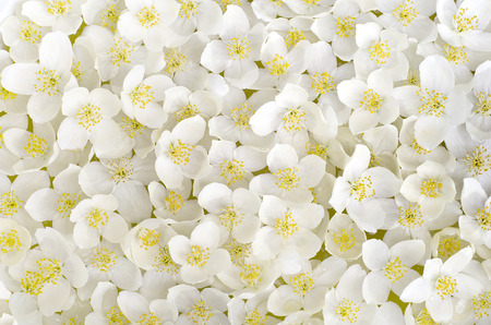 stamen: a carpet of white petals of Jasmine flowers in the daytime in Sunny weather Stock Photo