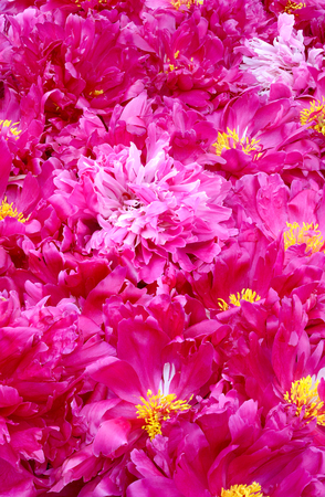 carpet their large number of flowers peonies pink, red and white colors depicted vertically