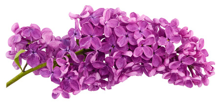 The purple lilac branch is the only close-up isolated on a white background.