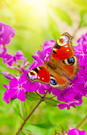 Admiral butterfly sits on a purple Phlox flower against the background of the suns rays close-up. 写真素材