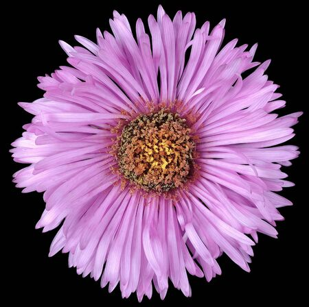 Flower Bud perennial Aster chrysanthemum purple isolated on a black background. Stock Photo