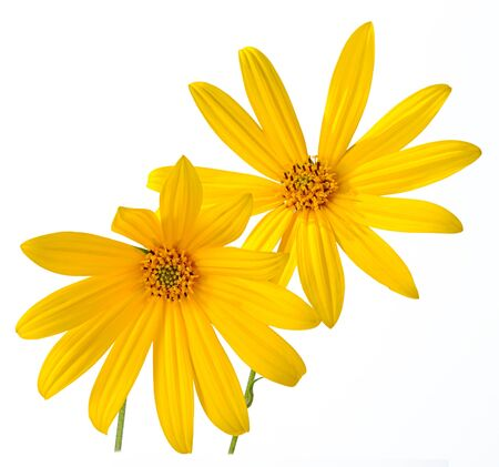 Two flowers bouquet Jerusalem artichoke chamomile yellow isolated on a white background.