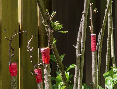Grafting a tree of black-fruited mountain ash with pear cuttings with a red ribbon in the spring in Sunny weather. Stock Photo