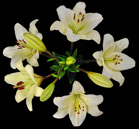 Bouquet of white Lilies with a lot of blooming and not budding buds. Top view isolated on black background close-up.