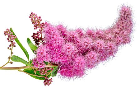 A single horizontal branch of the Spirea billardii Bush with purple flowers in close - up isolated on a white background. Stock Photo - 137457149