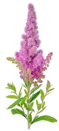 Vertical branch of Spirea billardii Bush with purple flowers close-up isolated on a white background. Stock Photo