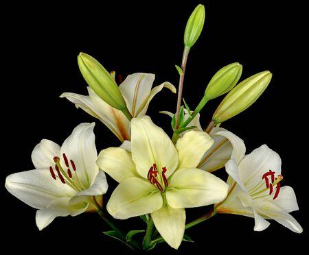Bukiet białych lilii z dużą ilością kwitnących i nie pączkujących pąków. Widok z boku na białym tle na czarnym tle z bliska. Zdjęcie Seryjne