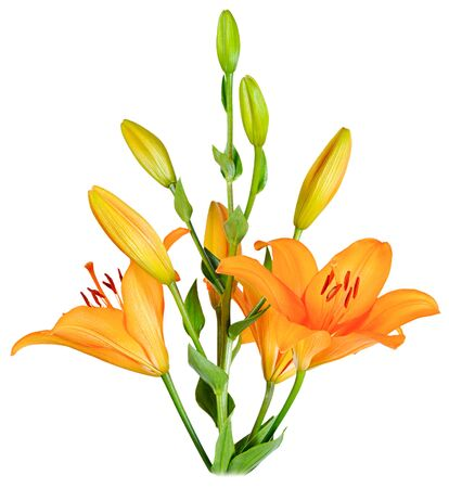 A bouquet of orange Lilies with blooming buds. Side view isolated on white background close-up.