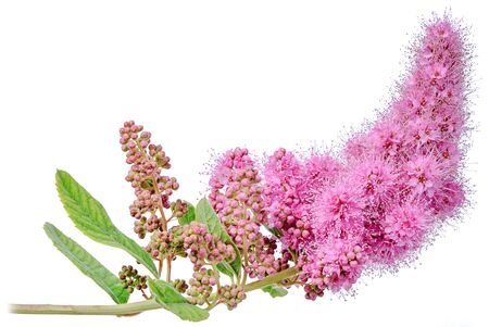 A branch of the Spirea billardii plant with purple flowers in close - up isolated on a white background.