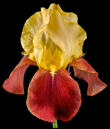 Iris Bud with yellow and light red-brown petals close-up isolated on a black background.