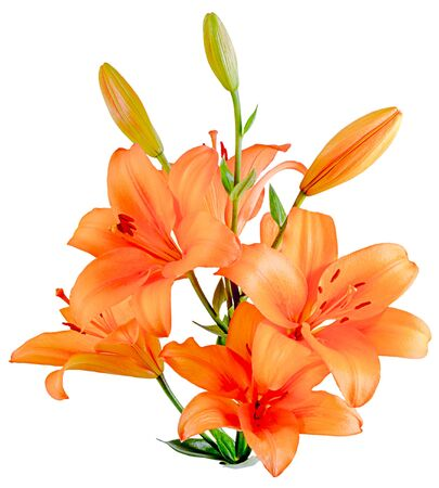 A bouquet of orange Lilies with blooming and unopened buds. Side view isolated on white background close-up. Stock Photo