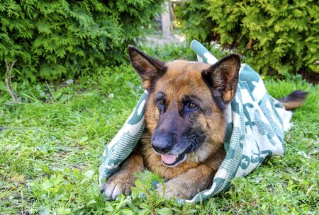 An old sick German shepherd dog lies on the green grass wrapped in a blanket in Sunny weather close-up. Stock Photo