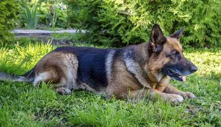 An old German shepherd dog lies on the green grass in summer in Sunny weather in the forest close-up.
