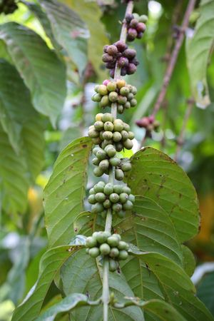 Coffee Beans on the Branch close up photo