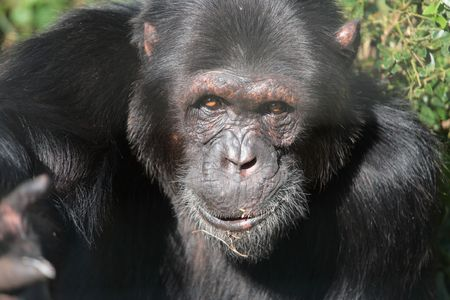 Close up of a cute black chimpanzee