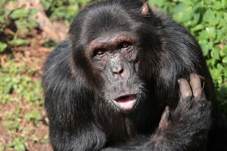 robust: Close up of a cute black chimpanzee