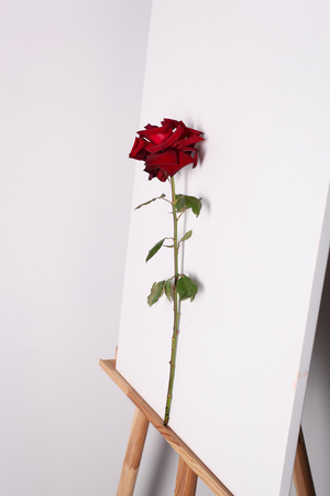 Rose on a white canvas background. Flower and picture on the easel
