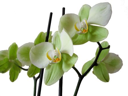 light green orchid on white background Stock Photo - 2846796