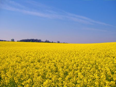 lente mosterd veld met blauwe hemel