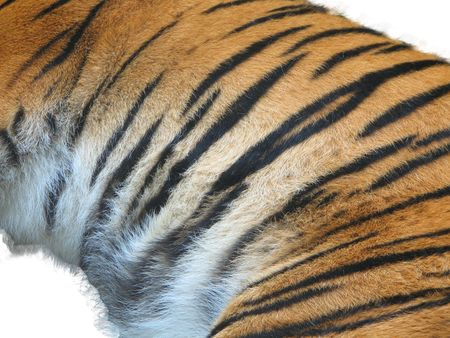 tiger fur on the white background Stock Photo - 2846773