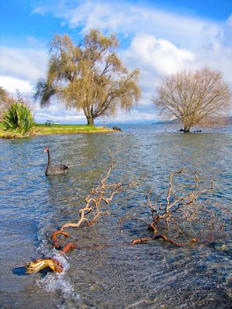 black swan on the lake Taupo Stock Photo - 2846770