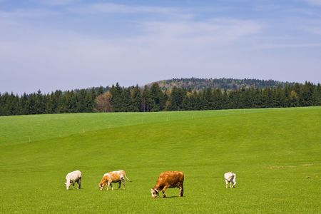 cows on pasture in beautiful landscape Stock Photo - 2951712